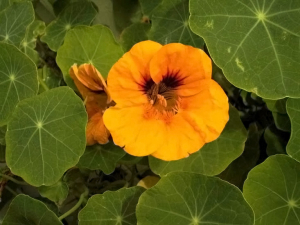 Nasturtium flower and leaves.