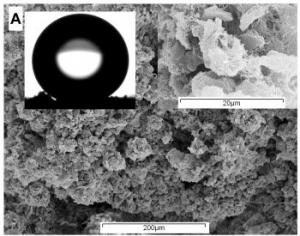 Electron micrographs of Lecanora conizaeoides.