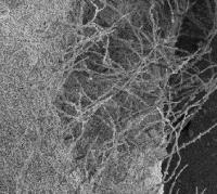SEM image of Euphorbia