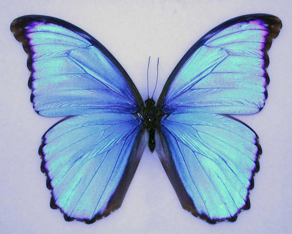 A blue butterfly, Morpho Menelaus