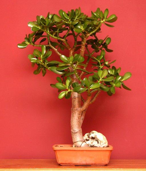 Crassula bonsai