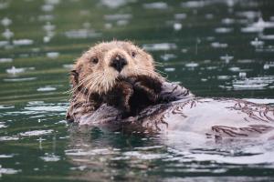 Sea Otter in Little Tutka Bay, Alaska