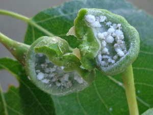 Gall of Pemphigus spyrothecae aphids