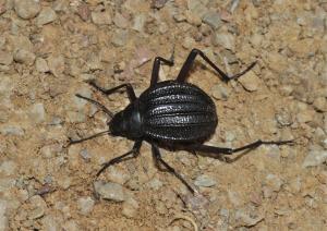 Desert beetle Stenocara sp