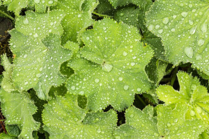 Water drops on Lady's mantle