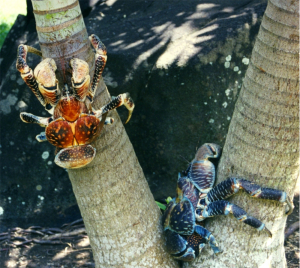 Coconut crabs on a tree